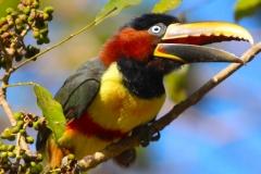 Aracari